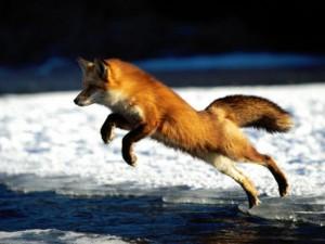 Хитрата лисица